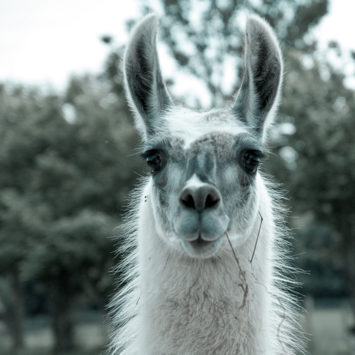8.) ...allow your pet llama to graze on city property...