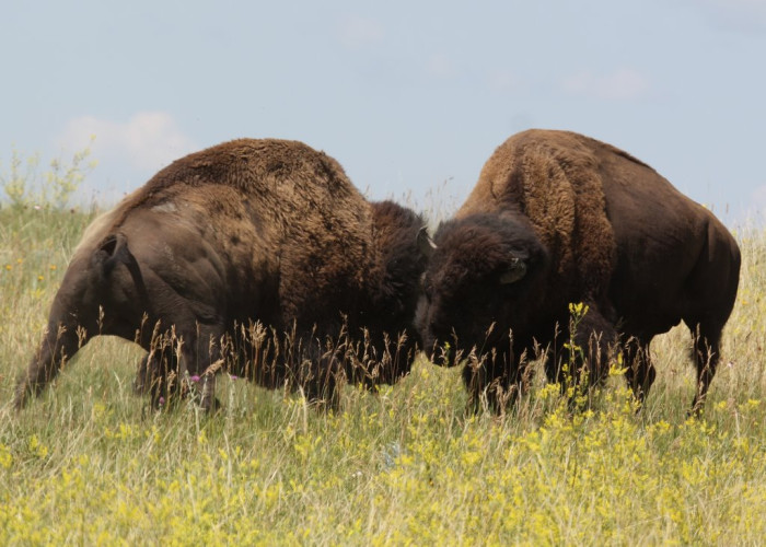 5. Bison battling it out on the wide open North Dakota prairies