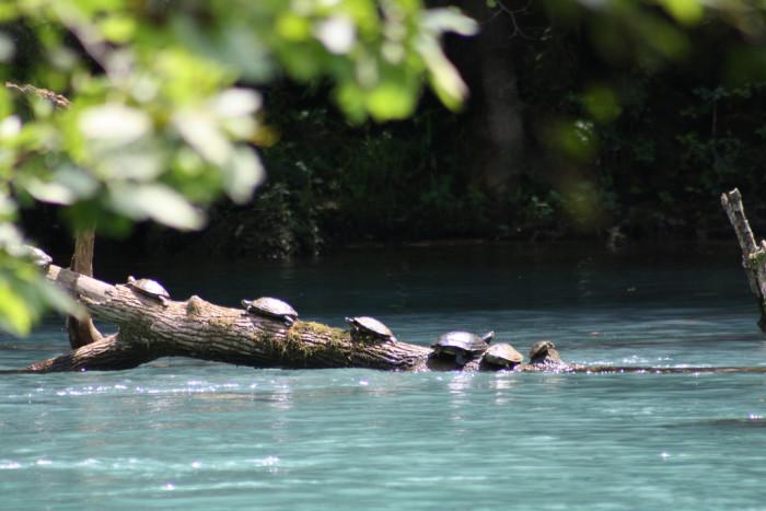 5. Missouri Map Turtles at Big Spring