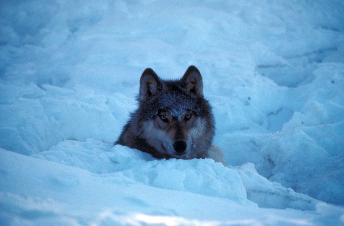 11. It's unlikely, but you could be stalked by some very hungry wolves.
