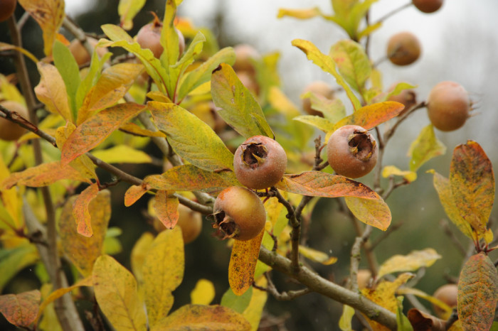 """2. Scientists discovered a previously unknown """"small tree or large bush"""" called mespilus canescens, commonly known as Stern's medlar. It only grows in Prairie County, Arkansas and only 25 plants are known to exist."""