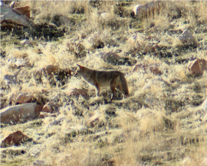 Coyote...