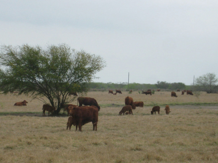 3. King Ranch, located outside of Corpus Christi, is larger than the state of Rhode Island.