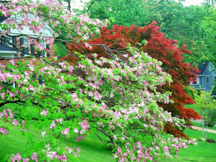 9. Blooming pink dogwood and red maple trees in Falls Church, Virginia