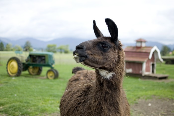 11. One fourth of the country's llama population call Oregon home.