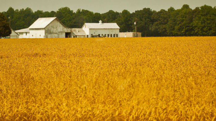 13. Amber waves of grain sway along Route 404.