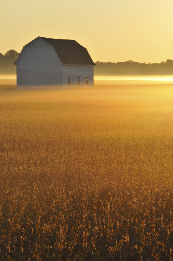 5. A lone barn stands proudly among the warm golden grains.