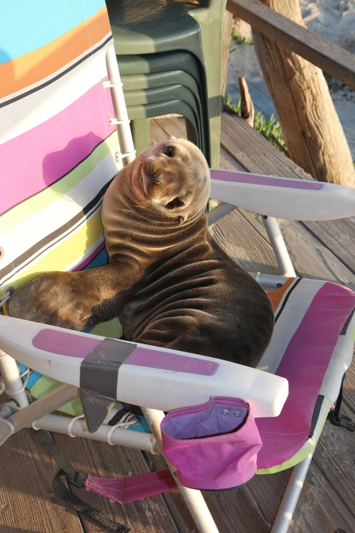 2. This baby seal pup lost his way and was found in Carpinteria taking a snooze in a lounger.