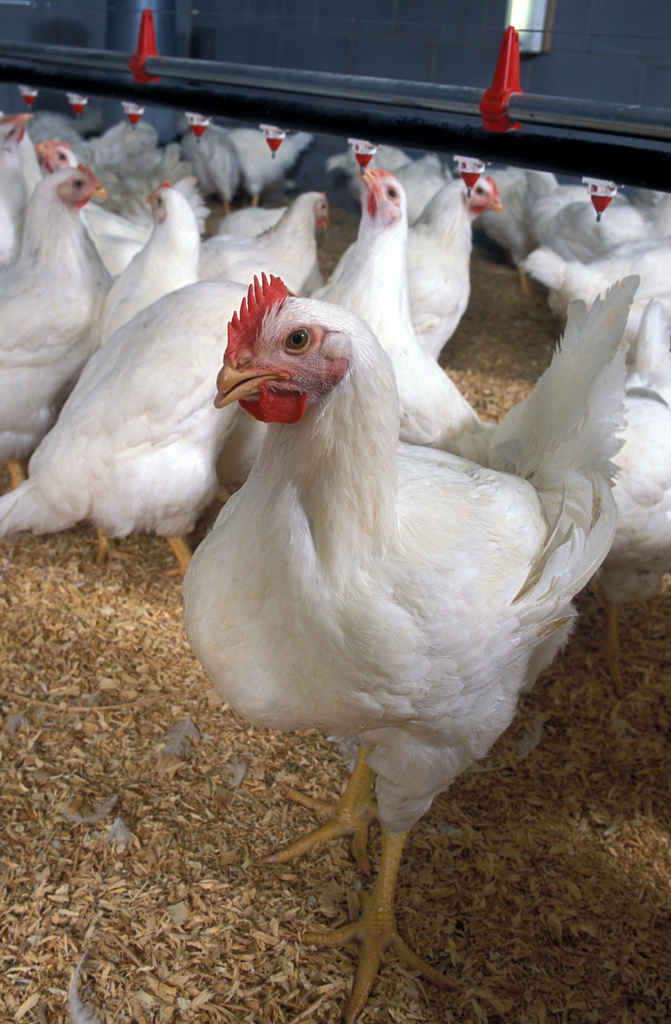 7. Sussex County, Delaware is first in the nation for the production of broiler chickens.