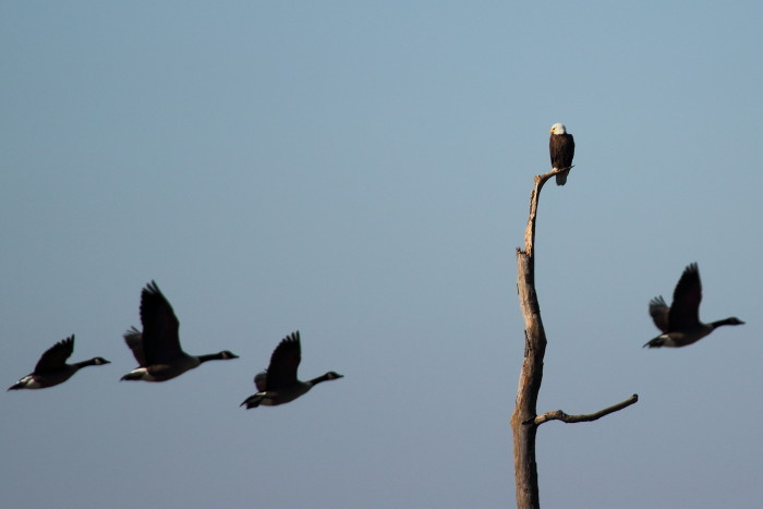 And did I mention that Blackwater has the greatest density of breeding bald eagles on the east coast, north of Florida?