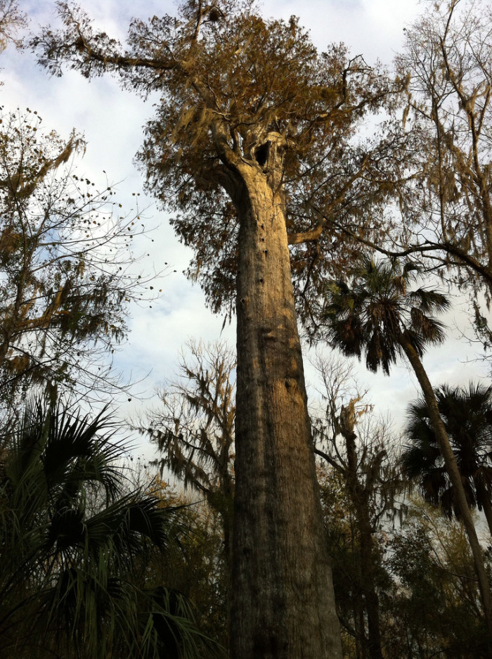 9. Florida was once home to the fifth oldest tree in the world.