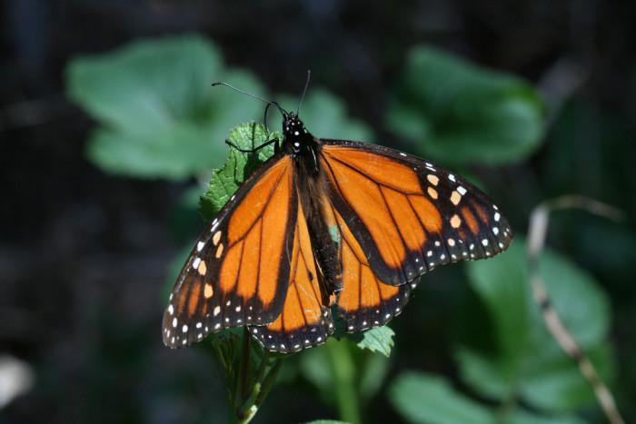 8. The Coronado Butterfly Preserve in Goleta in Santa Barbara County