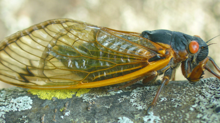 4. Periodical Cicada