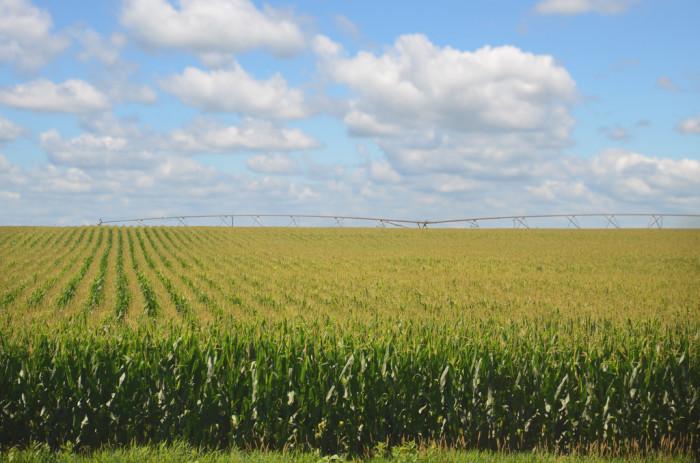 7. Growing corn...