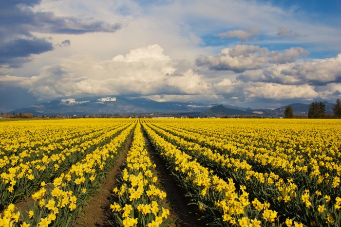 1. During March, they host a lovely Daffodil Festival.