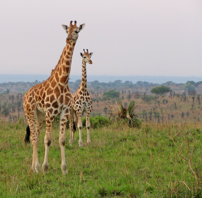 6. The storm surge from Hurricane Katrina was 20 feet high - approximately the height of a giraffe.