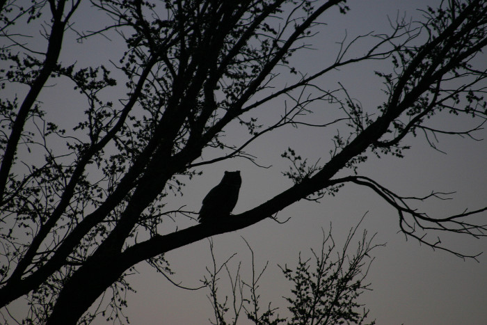 6. This great horned owl was perched on a tree in Fort Stevenson State Park in the middle of the night.