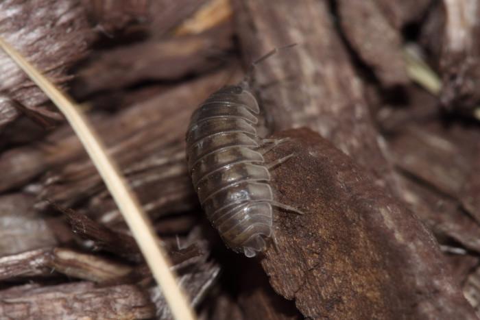 9. The Common Pillbug