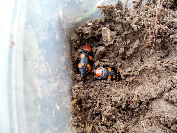 6. The Burying Beetle