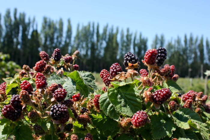 8. Because of their great climate, the town has a ton of fresh berry farms.