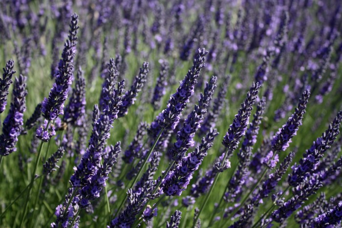 10. Attend the Lavender Festival in Sequim.