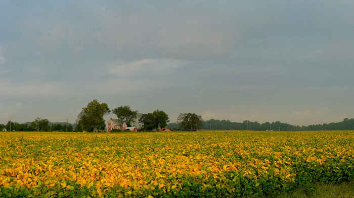 15. A soybean field begins to turn from green to yellow as harvest approaches in Magnolia.