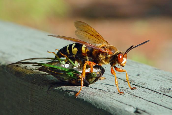 11. Cicada Killer