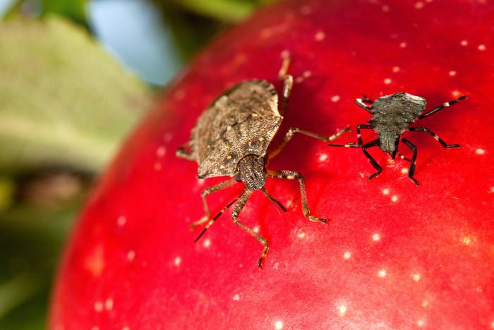 5. Stink Bug