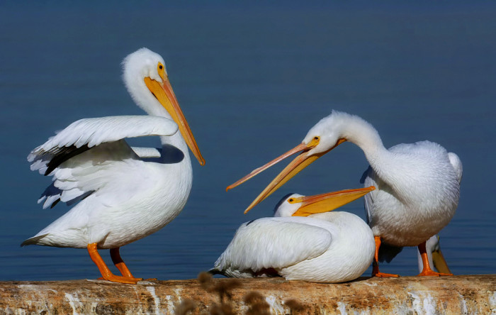 4. Speaking of California, you can find as many white pelicans in North Dakota as you can there.