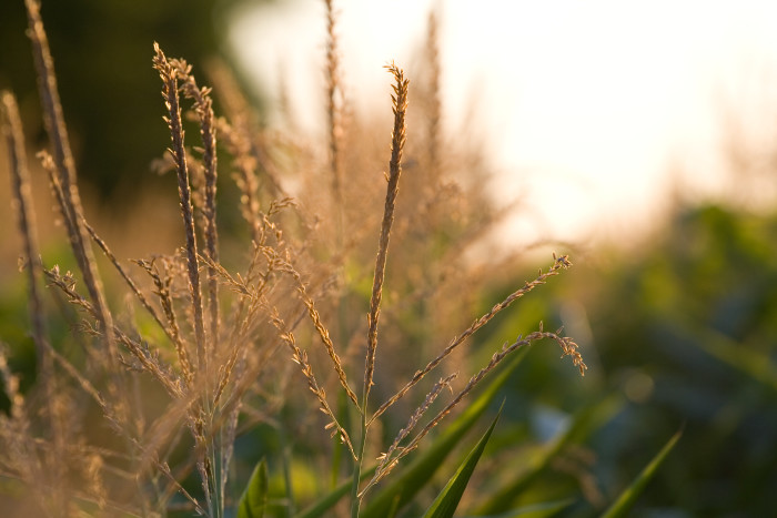 1. Sweet Corn Production