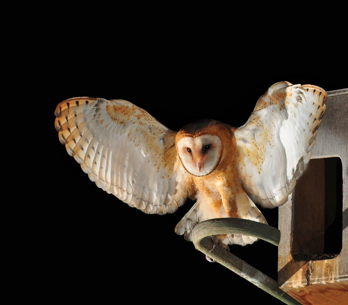 7. A Barn Owl photographed in Lakeside.