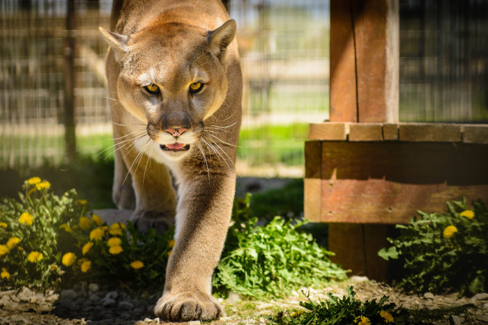 5. You won't believe what deformed this Idaho cougar.