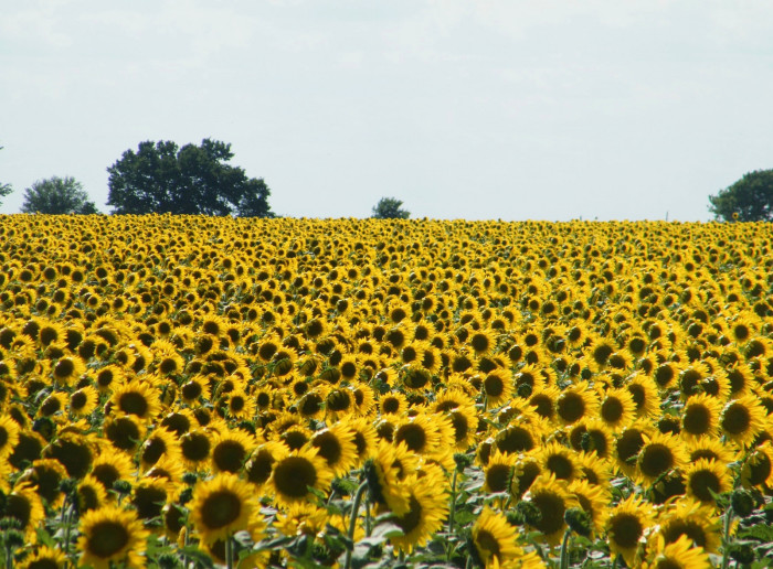 2. ...or sunflowers.
