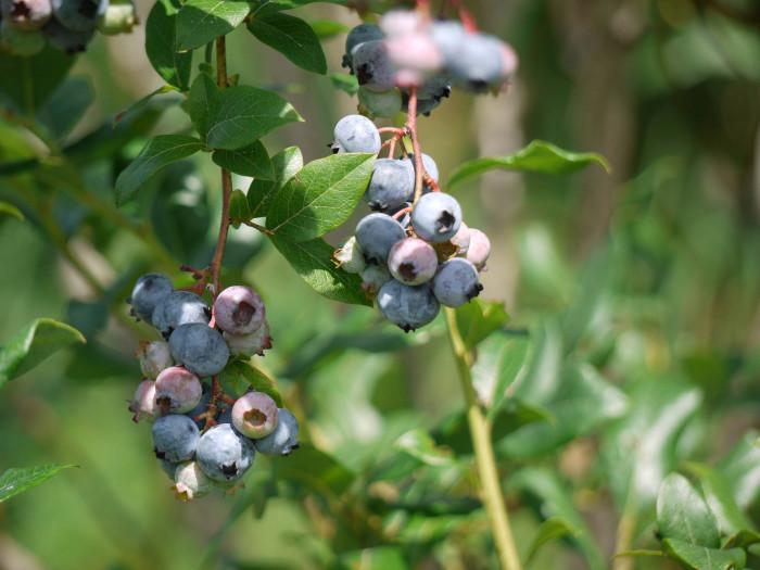 6. Picked peaches, blueberries, or blackberries