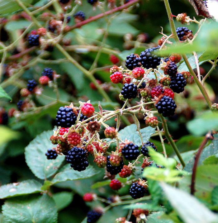 10. You've eaten Oregon berries straight off the vine.