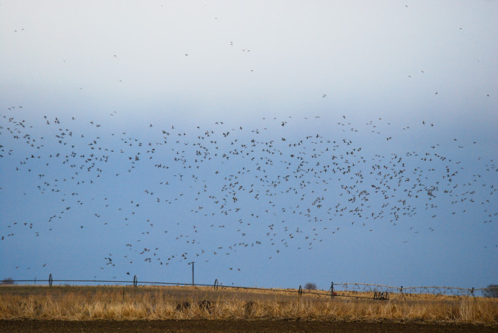 9. A flock of geese captured over this corn field in Corfu.