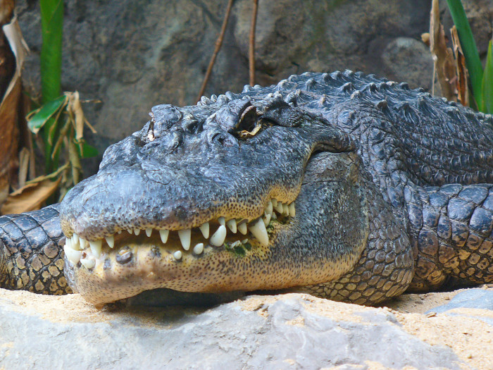 1. Had an alligator crawl under your house? Watch out! It could mean that there will be a death in your family soon.