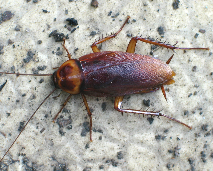 10. North American Cockroach