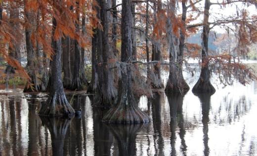 11) Big Cypress Tree State Park