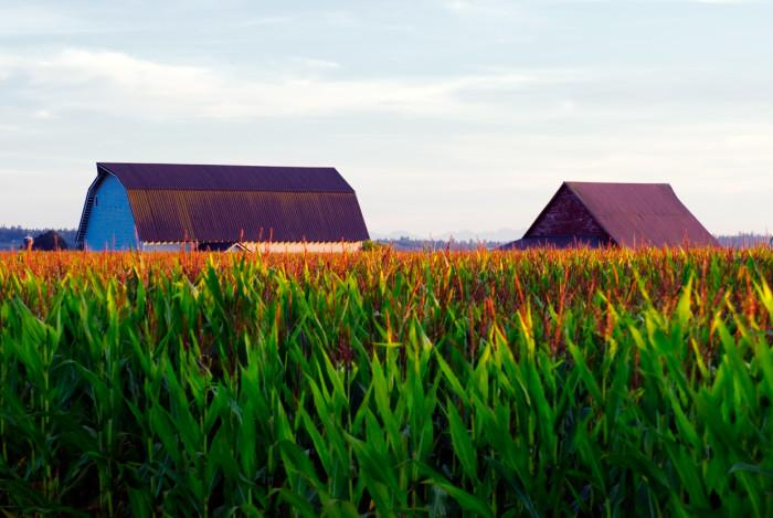 13. A beautiful shot of some corn fields on a farm in Blanchard.