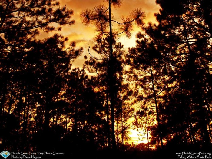 Falling-Waters_contest_Dana-Haynes_Longleaf-pines-in-a-beautiful-su