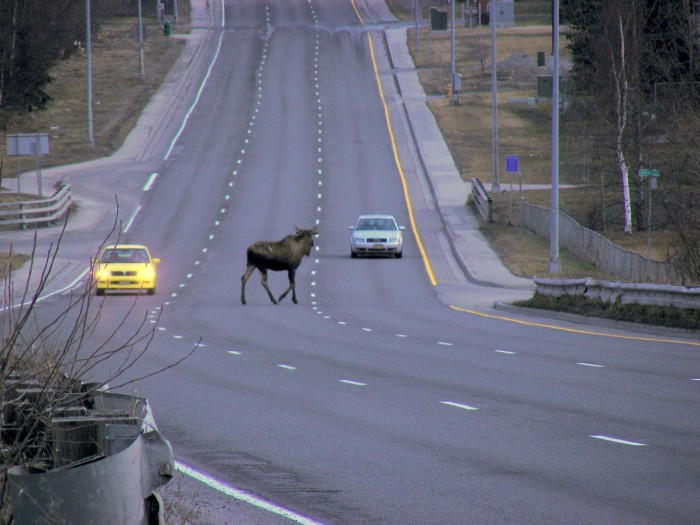 4. Stopping in traffic to let the moose cross the road is already scheduled into your morning commute.