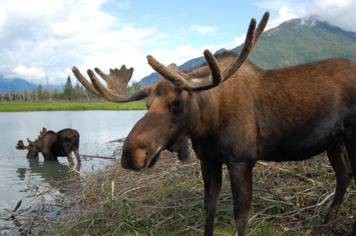 9. Bring the family to the Alaska Wildlife Conservation Center.