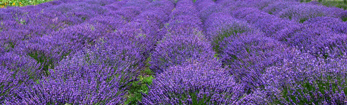 4. Rows of lavender line this Whidbey Island farm.
