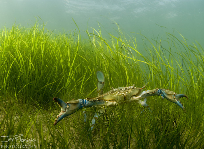 Warmer weather triggers crabs to emerge from the bay's muddy and sandy bottom after their winter hibernation. The lush underwater grasses in Maryland's portion of the Chesapeake Bay provide the crabs with ideal places to hide from predators.