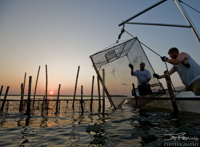 Maryland watermen target Blue Crabs in the shallows using bank traps. These traps are only legal to use in Somerset County, Maryland.