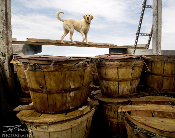 'Aurora' a salty Yellow Lab keeps a watchful eye over the catch from a day of crab potting near Tilghman Island.