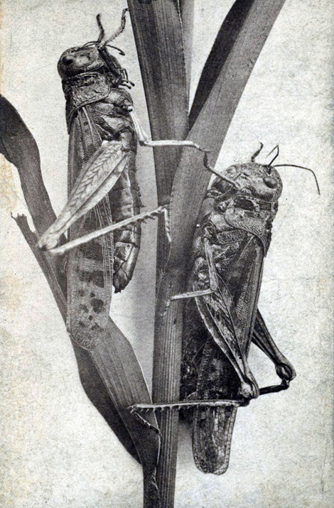 11. The now-extinct Rocky Mountain Locust  used to swarm together in packs of trillions, which was enough to cover the entire state of Colorado.
