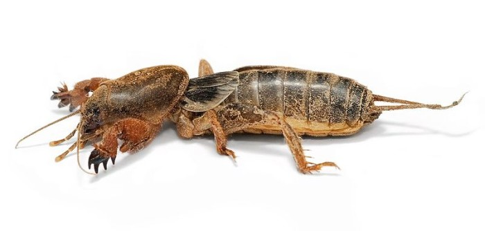 4. Mole Cricket