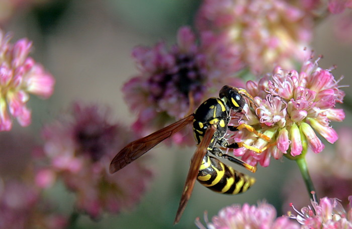 3. Golden Paper Wasp